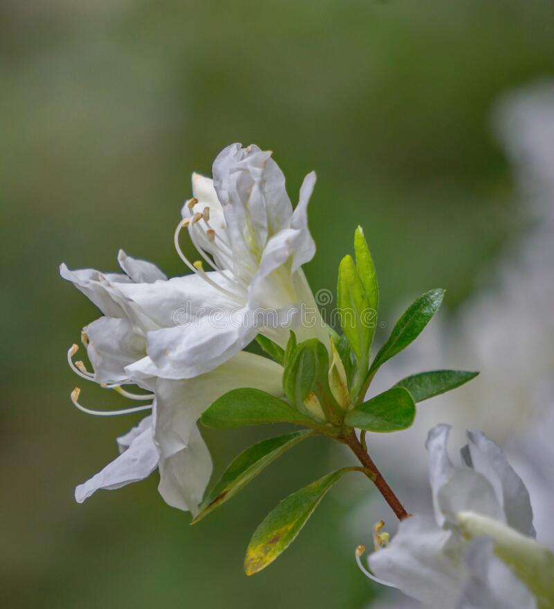 Closeup White Azalea Wildflowers. White azalea wildflowers located in a mountain park in the Blue Ridge Mountains of Virginia, USA stock photos