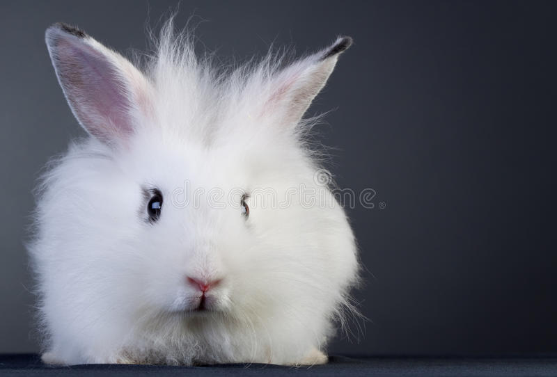 Download White baby bunny stock image. Image of fluff, closeup - 17754875