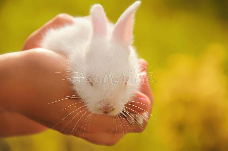 White baby cute rabbit. Sleeping deep on girl hands royalty free stock images