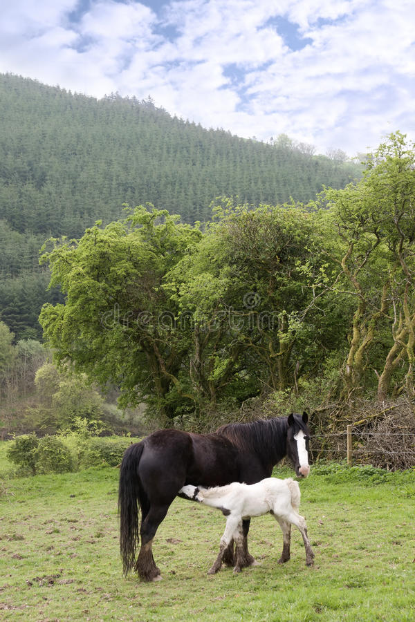 Free White Baby Foal Feeding From Its Mother Stock Image - 23362131