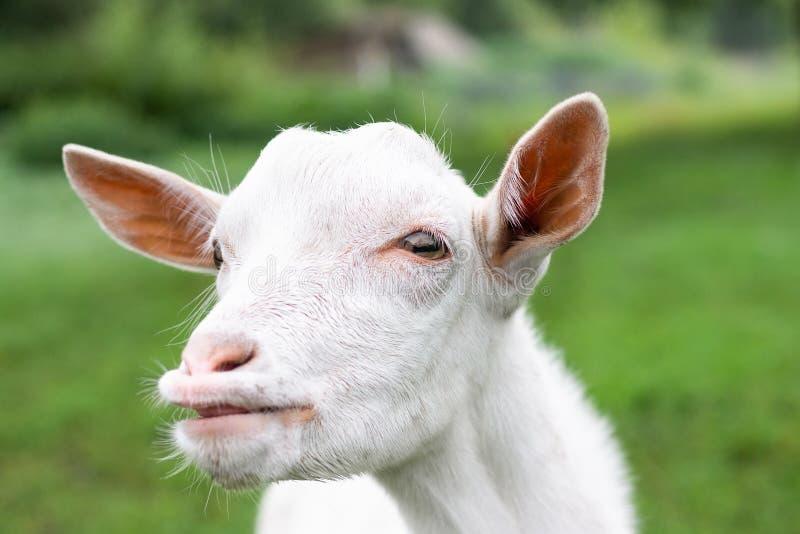 Goat on grass stock photo