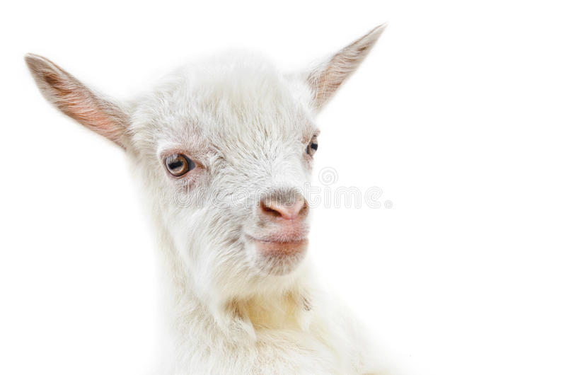 Download White baby goat stock image. Image of small, dairy, head - 29970771