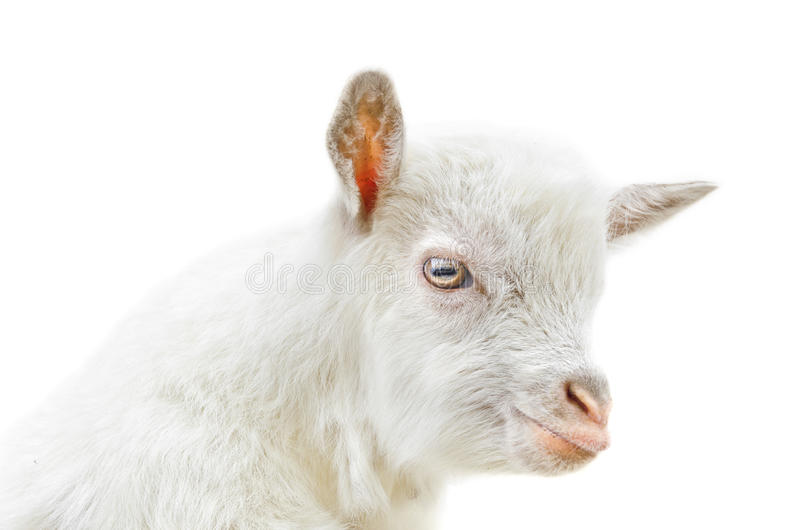 Download White Baby Goat Stock Images - Image: 29970774