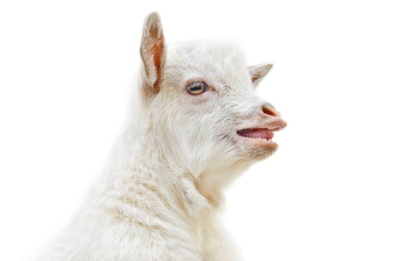 White Baby Goat Stock Images