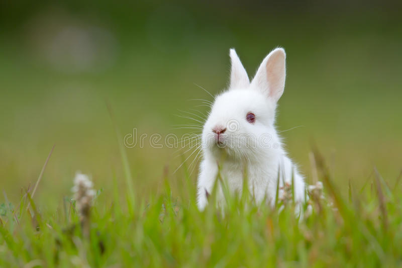 White baby rabbit in the grass. Baby white rabbit playing in the grass and flowers stock images