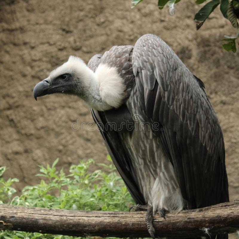 Free White-backed Vulture Stock Image - 116326621