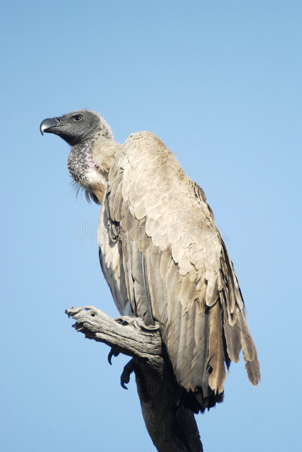 Free White Backed Vulture Royalty Free Stock Images - 6745529