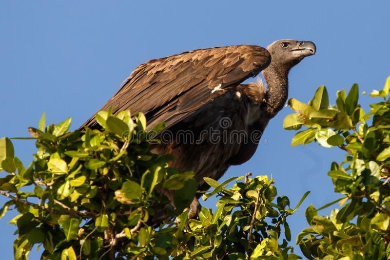 White Backed-Vulture - Chobe N.P. Botswana, Africa royalty free stock photo