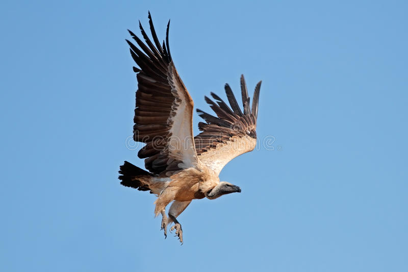 White-backed vulture in flight royalty free stock photo