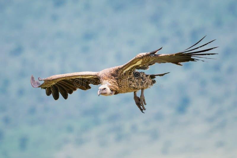 White-backed vulture glides towards landing near hillside royalty free stock photo