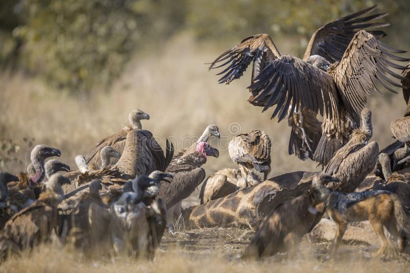 White backed Vulture in Kruger National park, South Africa. Group of White backed Vultures fighting on giraffe`s carcass in Kruger National park, South Africa royalty free stock photos