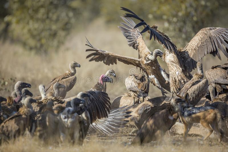 White backed Vulture in Kruger National park, South Africa. Group of White backed Vultures fighting on giraffe`s carcass in Kruger National park, South Africa stock image