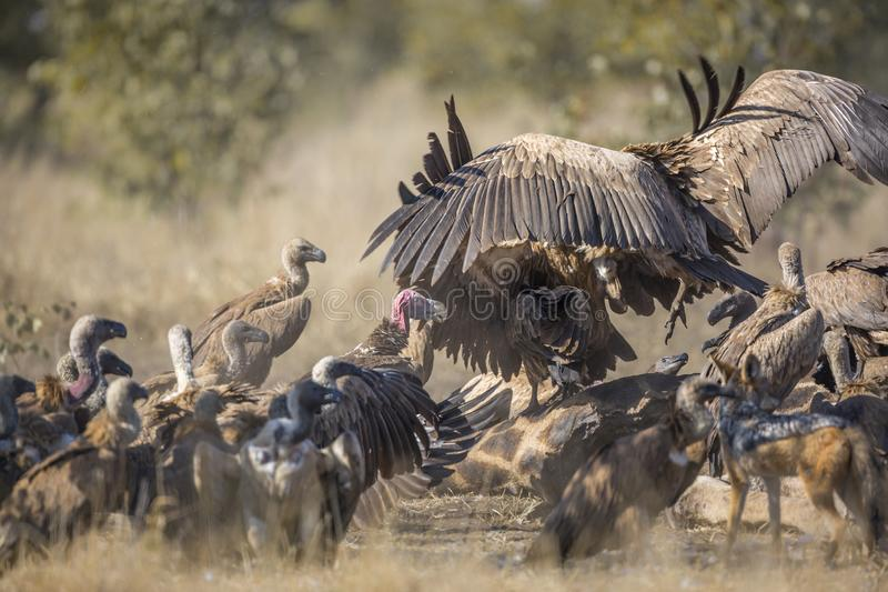 White backed Vulture in Kruger National park, South Africa. Group of White backed Vultures fighting on giraffe`s carcass in Kruger National park, South Africa stock photo