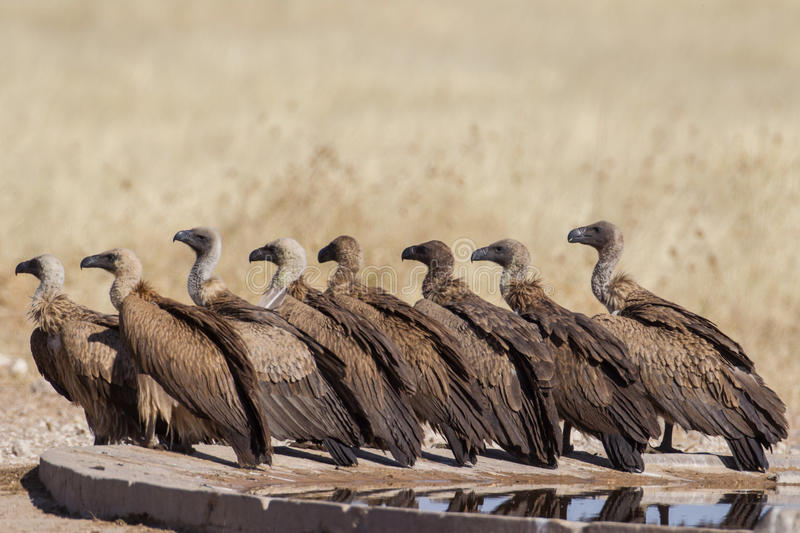White-backed vultures royalty free stock photos