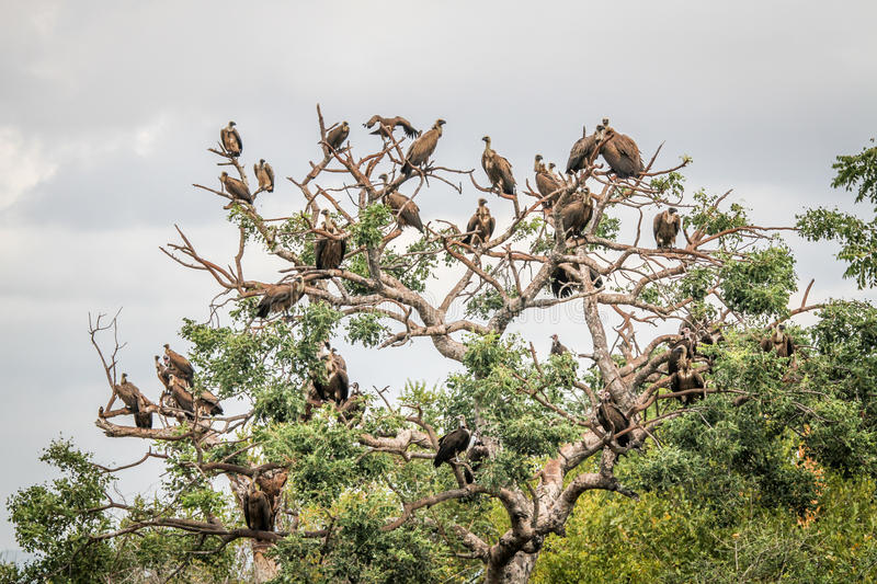 Download White-backed Vultures Sitting In A Tree. Stock Photo - Image: 83724224