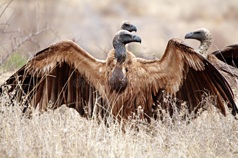 White backed Vultures stock photos