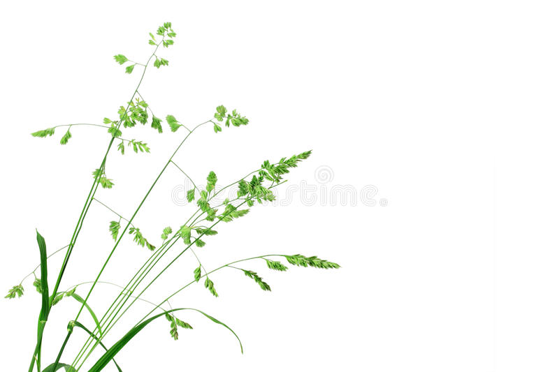 White background with single branch of green grass