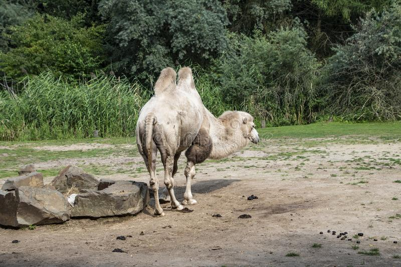 White Bactrian camel, Camelus bactrianus is a large, even-toed ungulate native to the steppes of Central Asia.  stock image