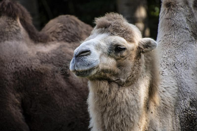 White Bactrian camel, Camelus bactrianus is a large, even-toed ungulate native to the steppes of Central Asia.  stock photo