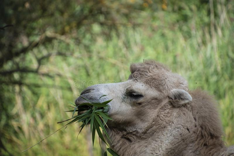 White Bactrian camel eating, Camelus bactrianus is a large, even-toed ungulate native to the steppes of Central Asia.  royalty free stock photos