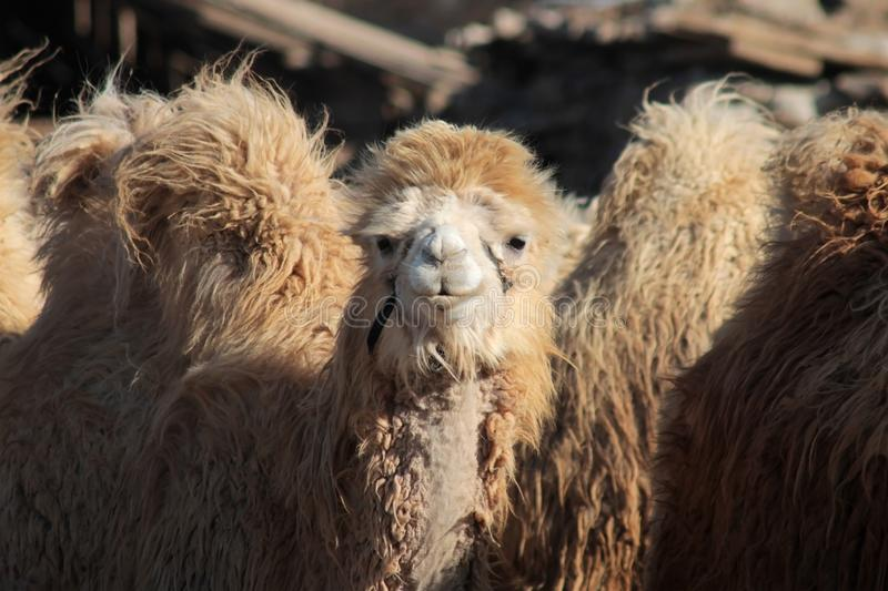 White Bactrian camel or two-humped camel portrait in the Gobi Desert in the area of Tsagaan Suvraga, Mongolia. White Bactrian camel or two-humped camel portrait stock image