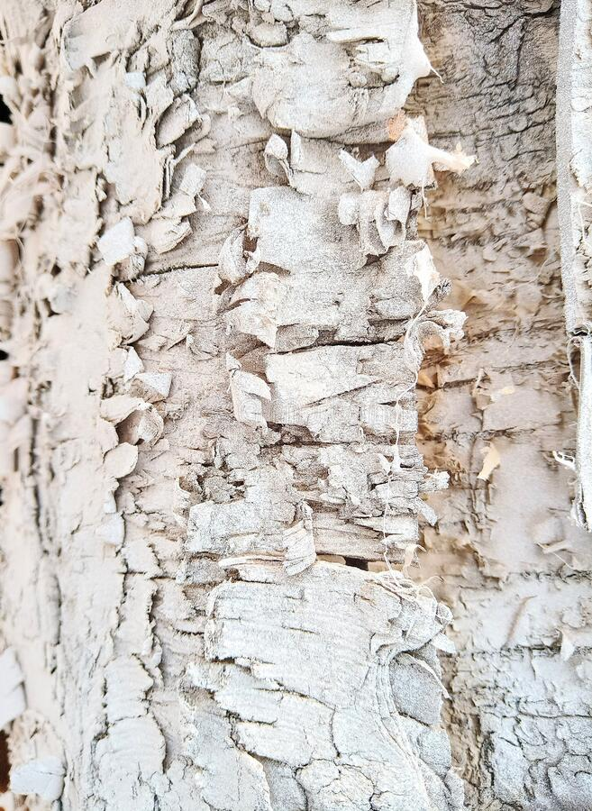 White bark wood texture nature royalty free stock photography