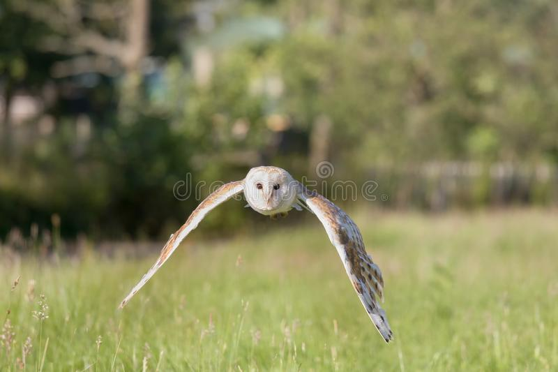 White barn owl in flight royalty free stock photography