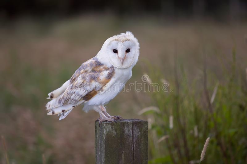 White barn owl on fence post stock images