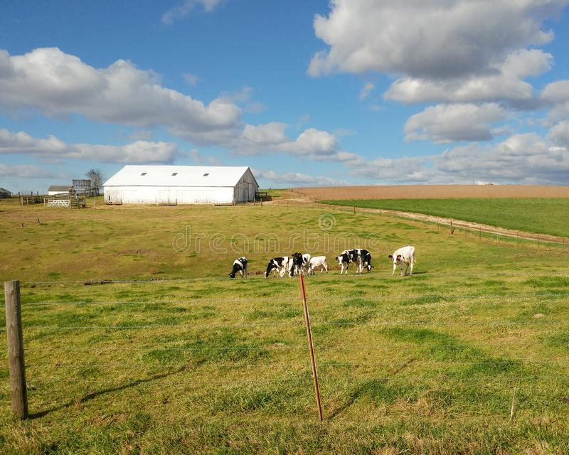 White Barn with Dairy Cows in the Pasture. A white barn in the rolling hills of the driftless region of Wisconsin with dairy cows grazing in the pasture stock photo