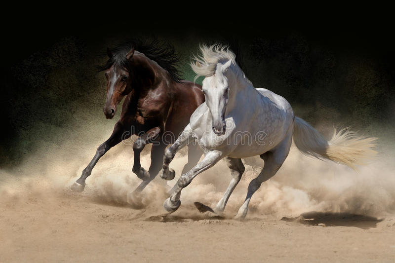 White and bay horse stock images
