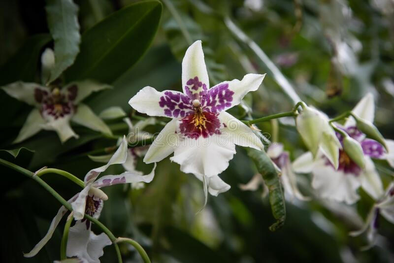 White Beallara Orchids Blooming royalty free stock photography