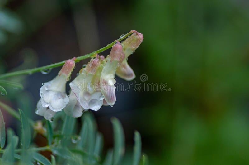 White bean flowers Vicia in Altai mountains, Altai Republic, Siberia, Russia stock images