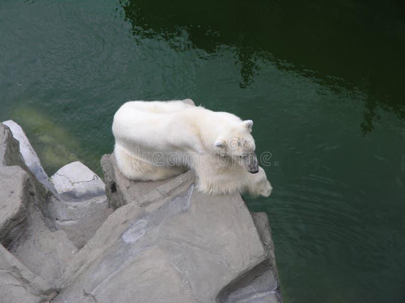 Download White Bear stock image. Image of cold, rock, animal, wild - 260199