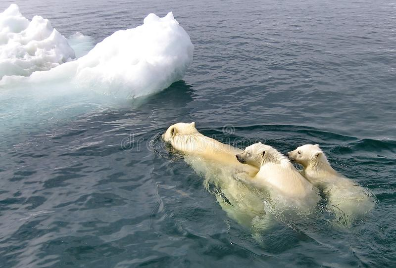 The white she-bear with the cubs floats in the Bering Sea. A polar bear, a northern bear, a umka Lat. Ursus maritimus stock images