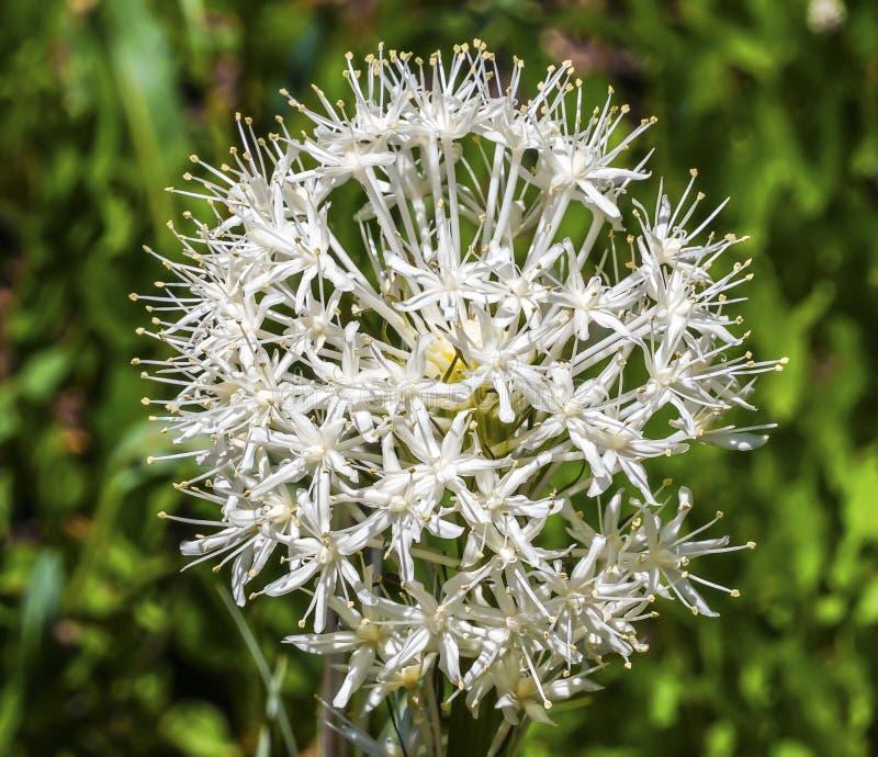 White Bear Grass Wildflower Mount Rainier Paradise stock image