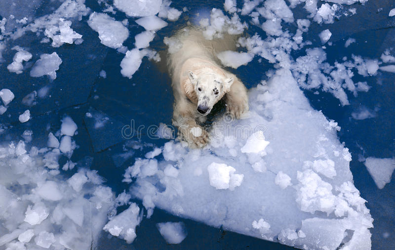 White bear in the sea, swims among the ice, polar bear in the ice, White bear on ice floe. White bear in the sea, swims among the ice, polar bear in the ice stock photo