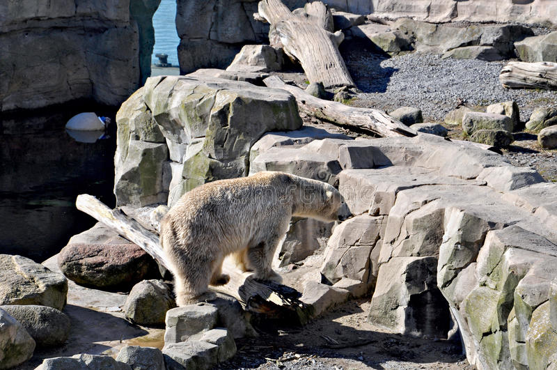White bear walking through the rocks. royalty free stock image