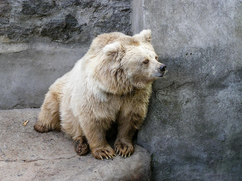 White bear who looks out for. Close-up royalty free stock photo