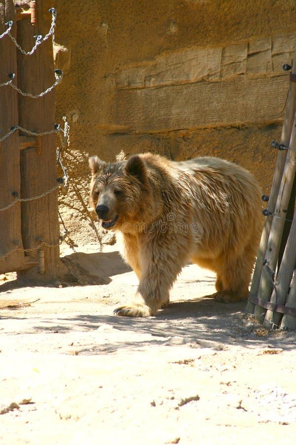 White bear in Zoo, Tabernas, Almeria. Bear in Oasys, Mini Hollywood, Tabernas, Almeria royalty free stock images