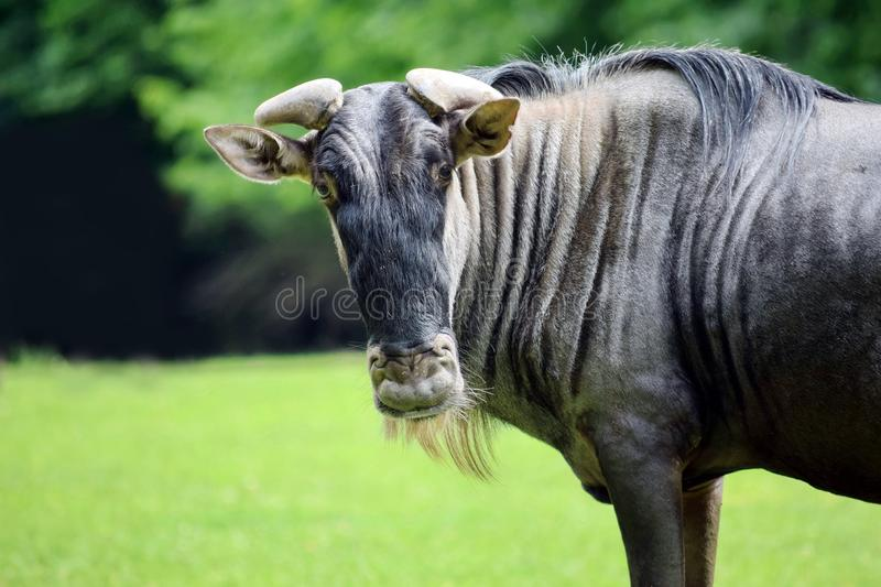White Bearded Wildebeest Head Portrait in Nature royalty free stock image