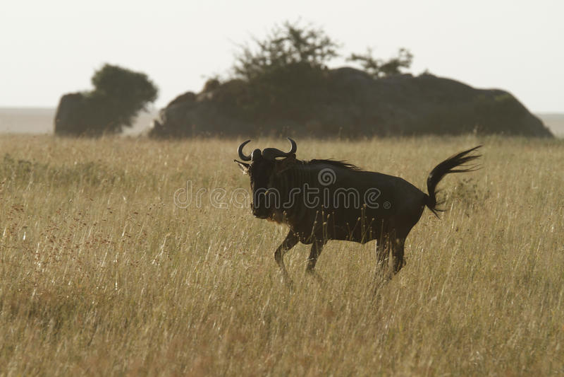 Download White-Bearded Wildebeest VI Stock Photo - Image: 24457008