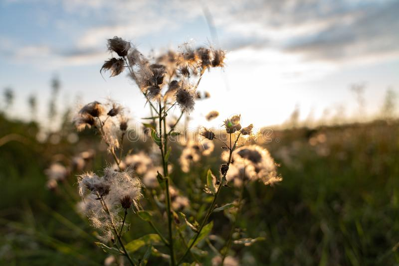 White beautiful dandelion among the green grass of meadow. White beautiful dandelion among the green meadow, sunset on the background stock images