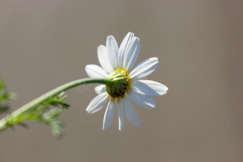 Macro photo of bright summer white chamomile on stem stock image