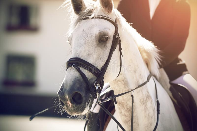 A white beautiful horse with a white mane, on which a rider equestrian. A white beautiful horse with a white mane, dressed in a bridle and ammunition for stock photos