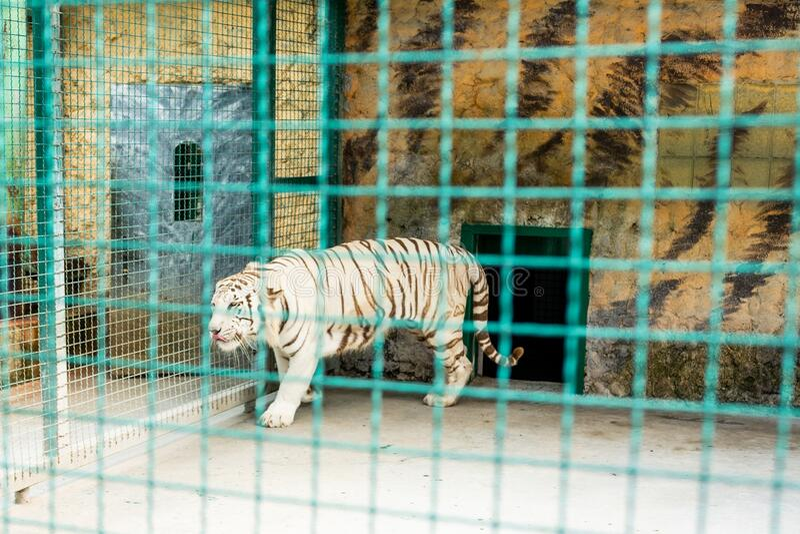 White beautiful majestic tiger in captivity royalty free stock photo
