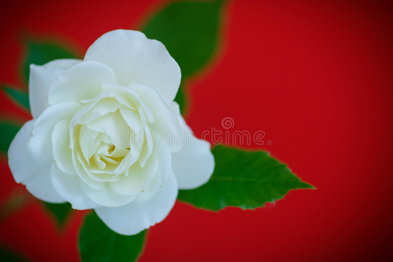 White beautiful rose. On a red background stock images