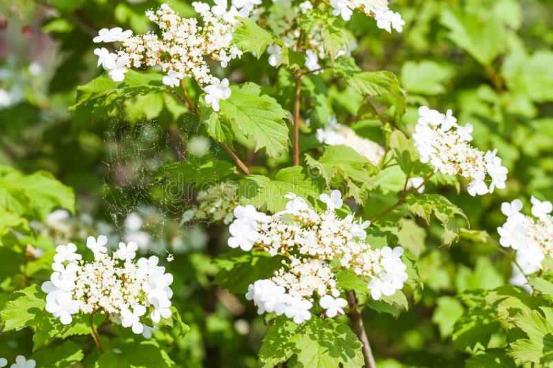 White blooming viburnum bush with a spider web stock photography
