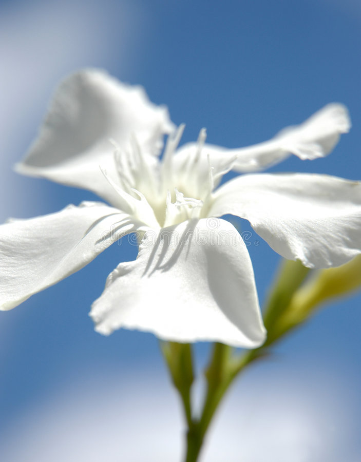 White beauty royalty free stock photography