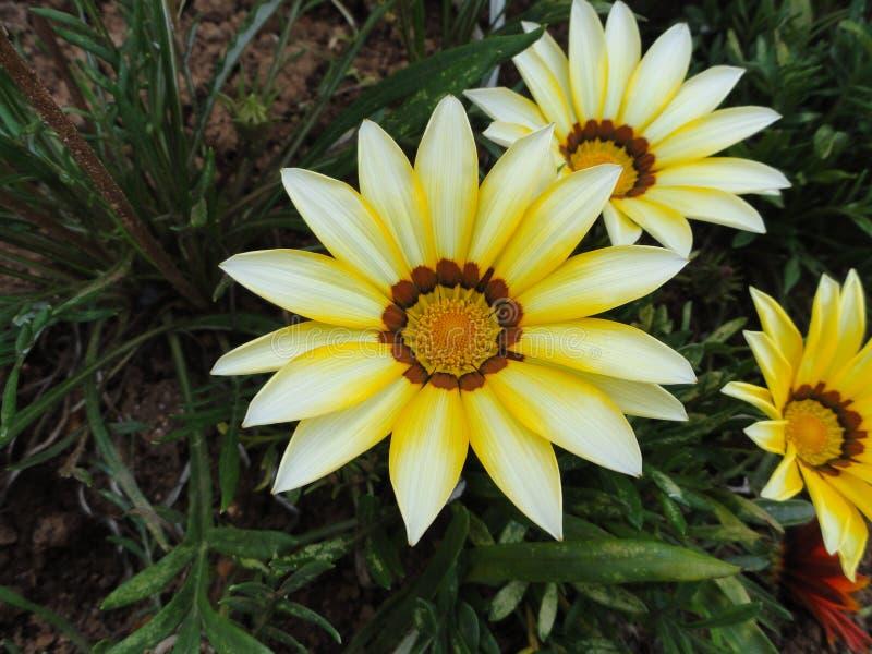 White flower, Himalaya mountains, India. White beauty, energetic bright,  beautiful fresh petals, Himalaya mountains, India, very rare, Himalayan beauty stock photos