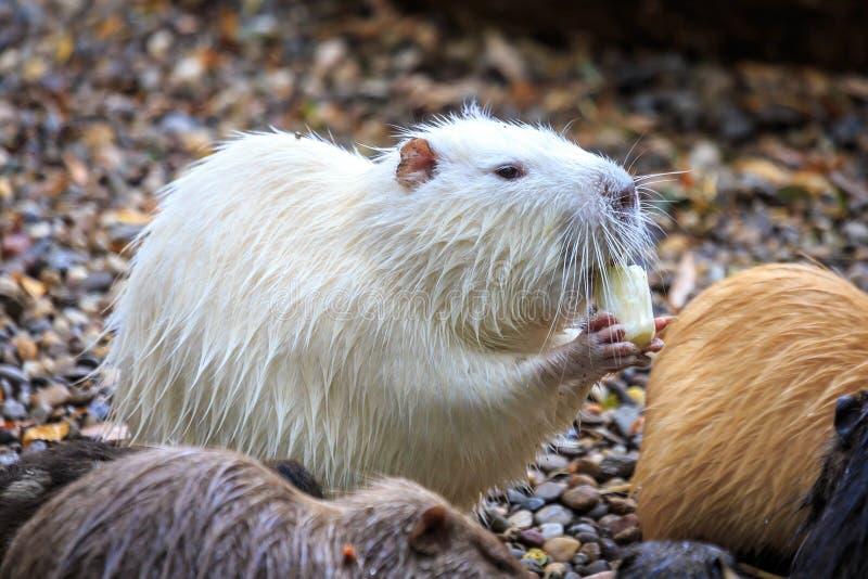 White beaver stock photography
